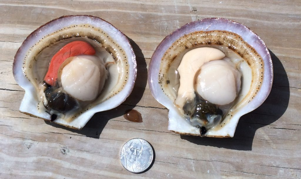 Farmed scallops used for research include a whole female on the left (she's got the pretty orange coral) and the whole male on the right. Both still have the digestive sac and what's called the skirt on them.