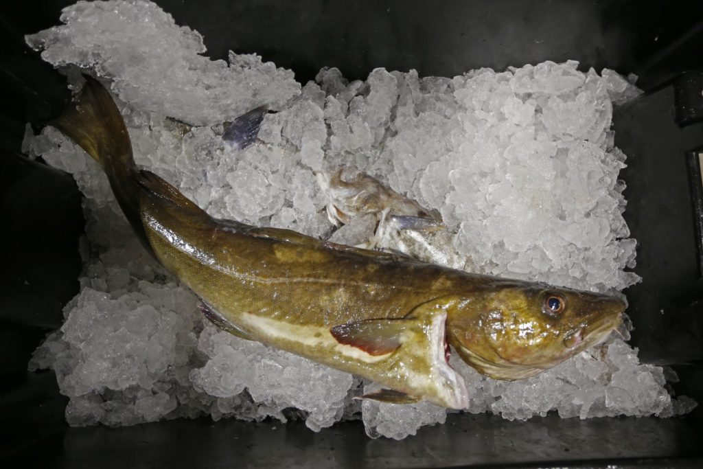 A cod that will be auctioned off sits on ice at the Portland Fish Exchange. Cod were once the backbone of New England's commercial fishing fleet, but catch has plummeted in the wake of overfishing and environmental changes. Officials now say there are some positive signs for the cod stock, and quotas are set to increase slightly this spring after years of heavy cutbacks.