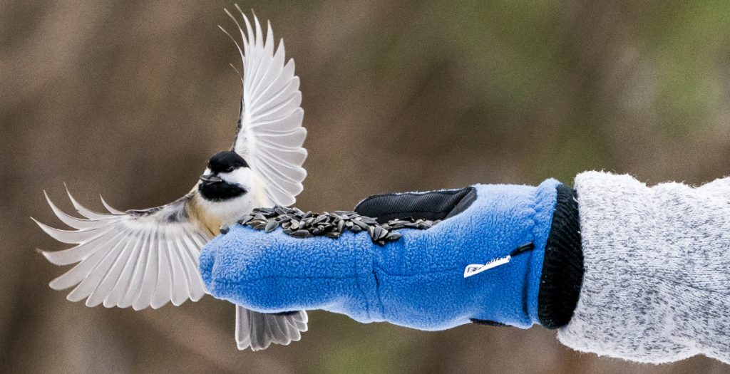 A chickadee floats onto the hand of Jean Stover of North Berwick to take a piece of bird seed. Stover enjoys the connection with nature, although she doesn't consider herself a birder. Stover puts hot sauce on the bird seed, which keeps the squirrels from eating it but doesn't affect the birds.