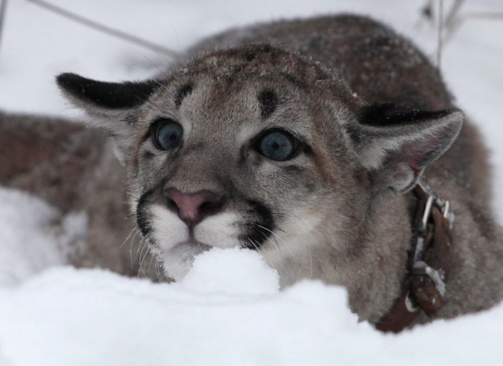 A North American puma cub, cousin to the Eastern puma, which is now deemed extinct.