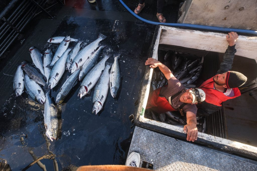 Two fishermen exit the hold of a boat after separating out 16 farm-raised Atlantic salmon caught off the Washington coast. The fish may have escaped from a salmon farm in August.