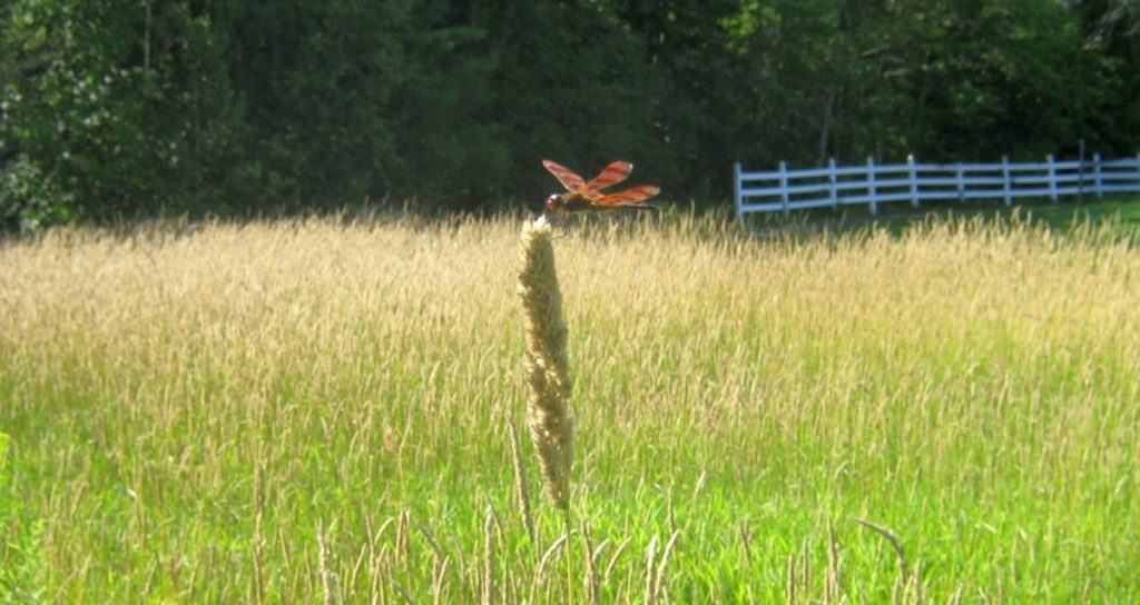 A Halloween pennant dragonfly alights on grass in the Unity park in 2011.