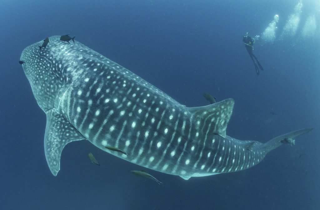 A whale shark makes diver Alexandra Watts appear tiny as she observes it in the Galapagos Islands area of Ecuador recently.