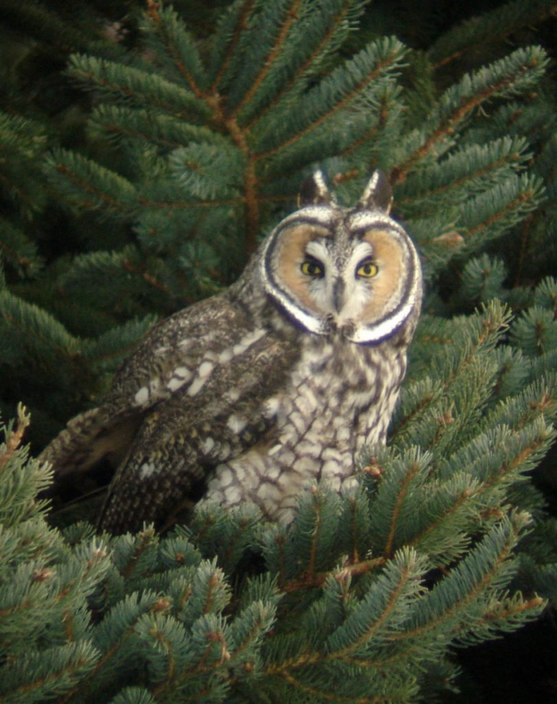 Photo courtesy of Kirk Gentalen Long-eared owl.