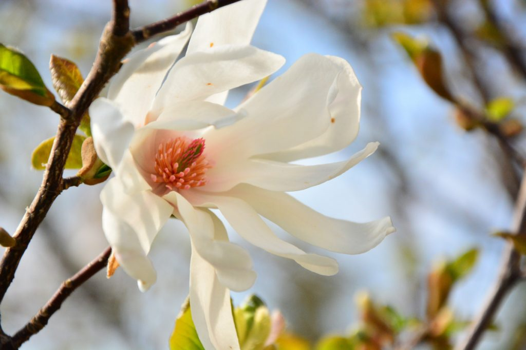 Consider star magnolia for your forever garden.