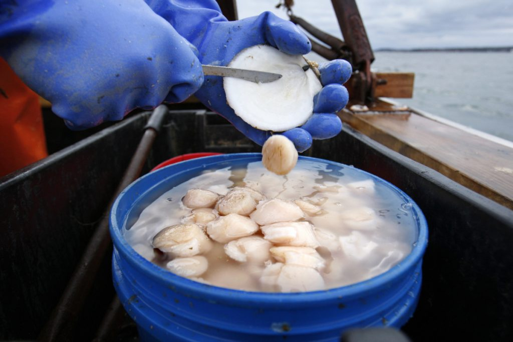 Scallop meat is shucked at sea in Harpswell.  Scallop prices could plunge in 2018 because fishermen are on track to harvest a high number and imports are up.