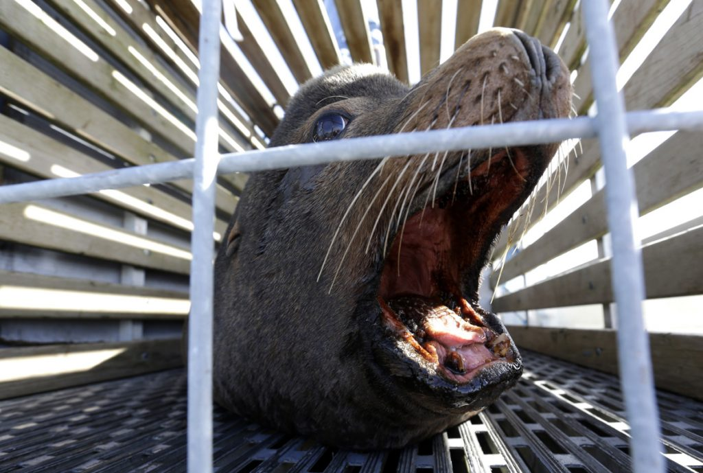 A California sea lion waits to be released into the Pacific Ocean in Newport, Ore. Two species of fish listed as threatened face a growing challenge in Oregon from sea lions.