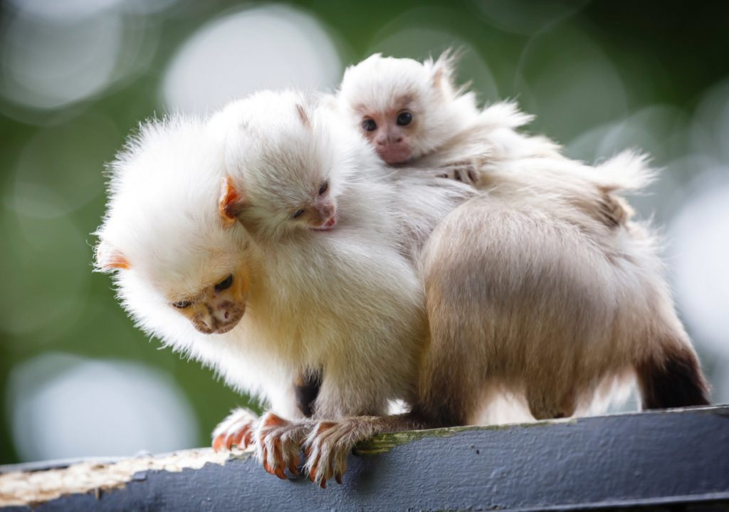 A recent study shows marmoset monkeys share more with little ones in private than when they're surrounded by other monkeys.