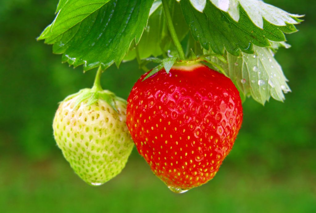 You should plant your strawberries as soon as the soil can be worked, digging a hole that will cover half of the crown and that's wide enough so you can spread the roots.