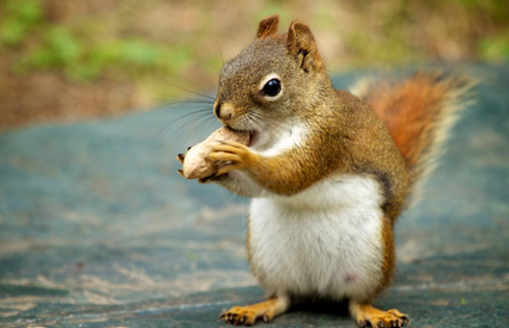 Maine native Mikel Delgado found that squirrels make complicated decisions, such as whether to hoard a nut or eat it immediately.