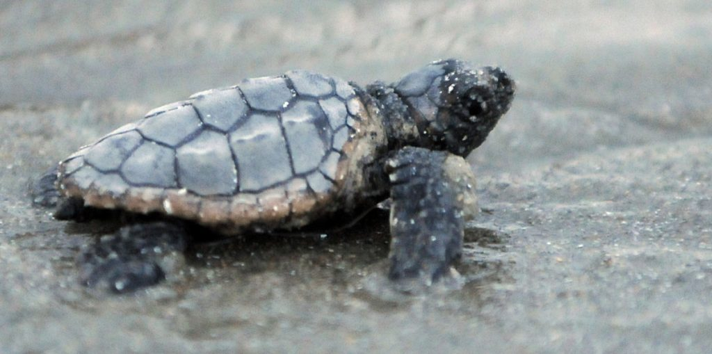 A loggerhead sea turtle at South Carolina's Myrtle Beach State Park makes its way to the Atlantic Ocean.