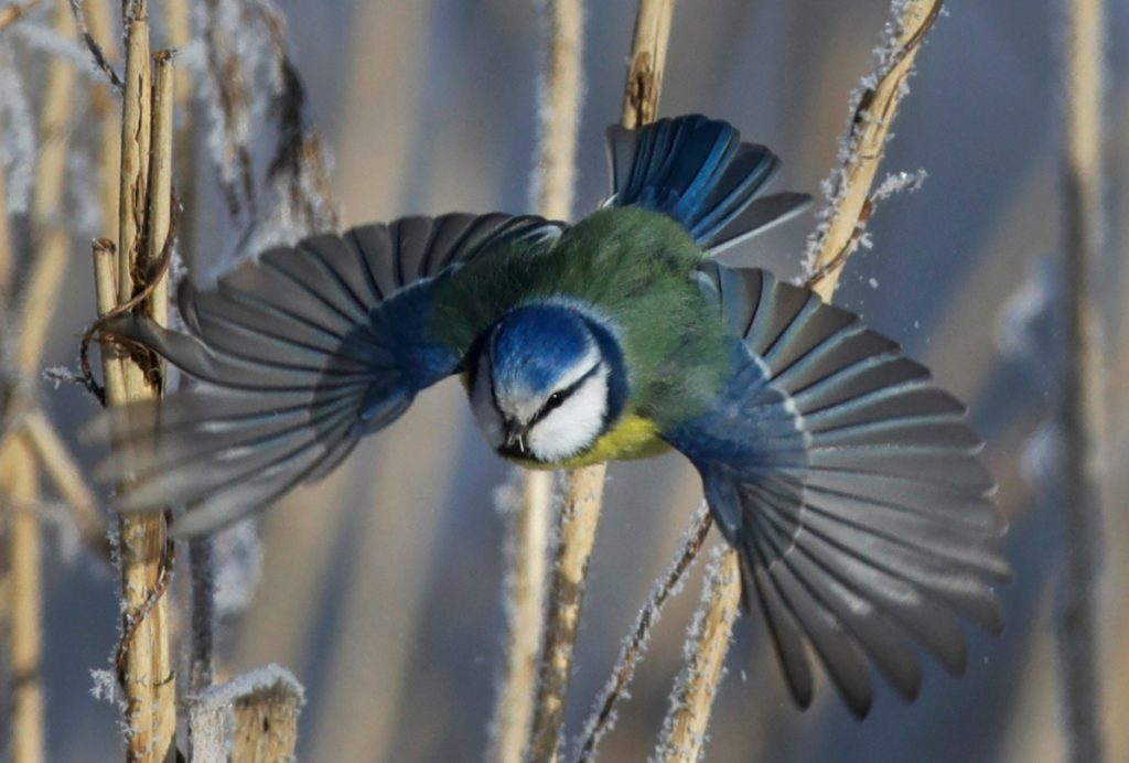 The Eurasian sparrow hawk's prey, a blue tit, flies among dried plants covered with hoarfrost near the Belarus village of Dukora, some 25 miles southeast of Minsk.