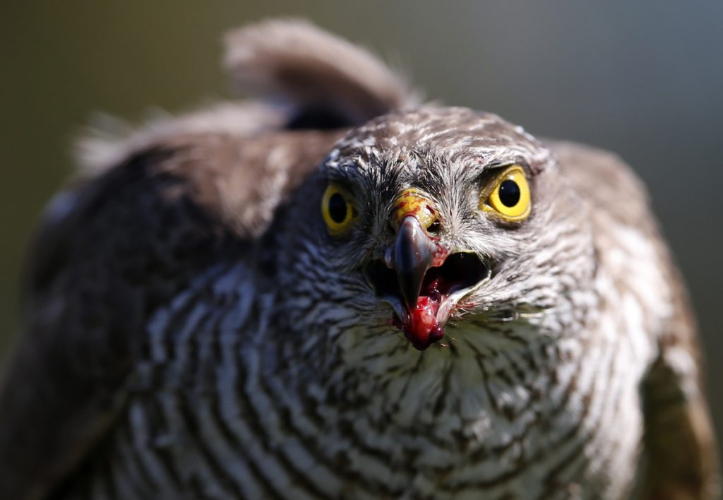 In the Netherlands, the Eurasian sparrow hawk has been late for dinner because its prey, the blue tit, over 16 years has arrived almost six days earlier than the hawk, according to a study published Monday in the Proceedings of the National Academy of Sciences.