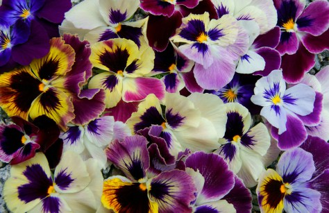 Colorful floral background from Pansies.
