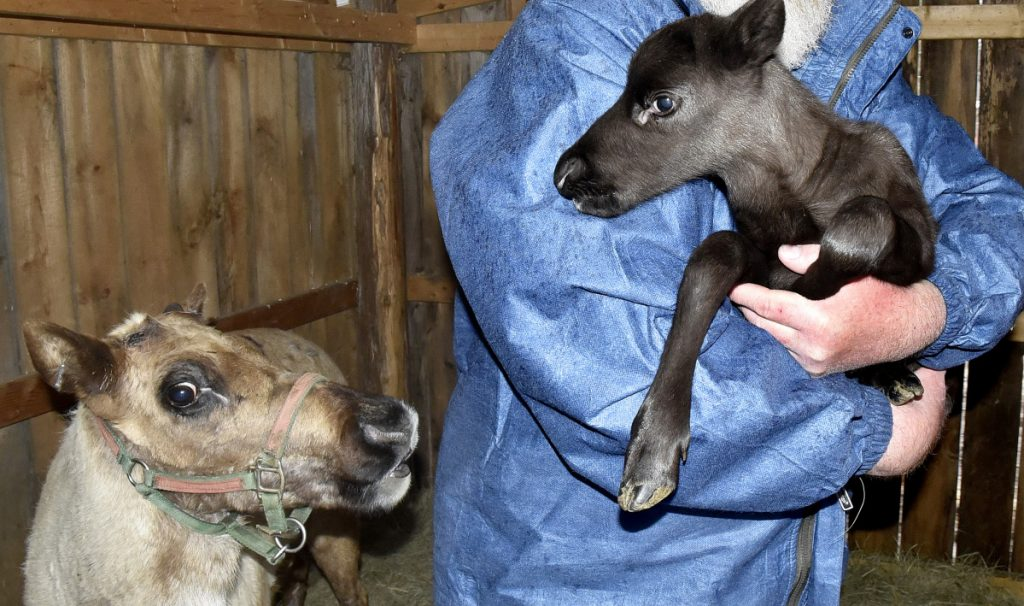 A reindeer cow named Cocoa looks on Wednesday as Ed Papsis of Pony X-Press zoo in Winslow holds a four-day-old female reindeer calf born on Easter Sunday at the Winslow farm. Papsis said the calf is the first reindeer born in Maine in the last 20 years.