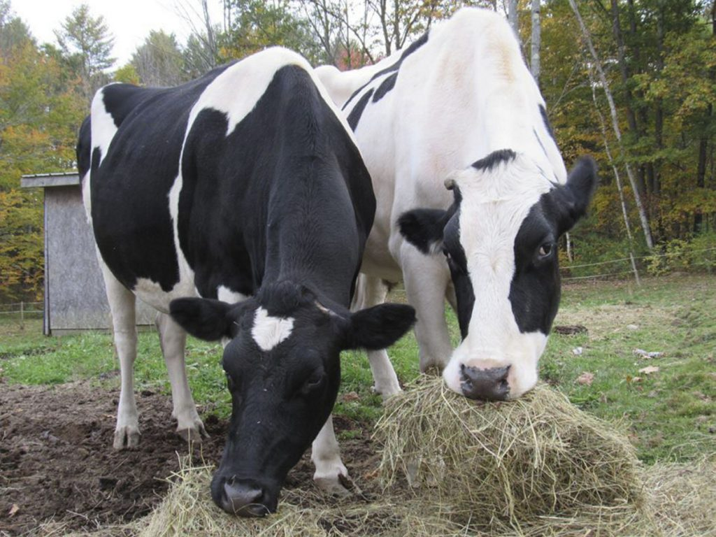 Isadora and Theodore, pet Holsteins owned by Daria Goggins, of Richmond, were shot and killed on Nov. 20, 2015.