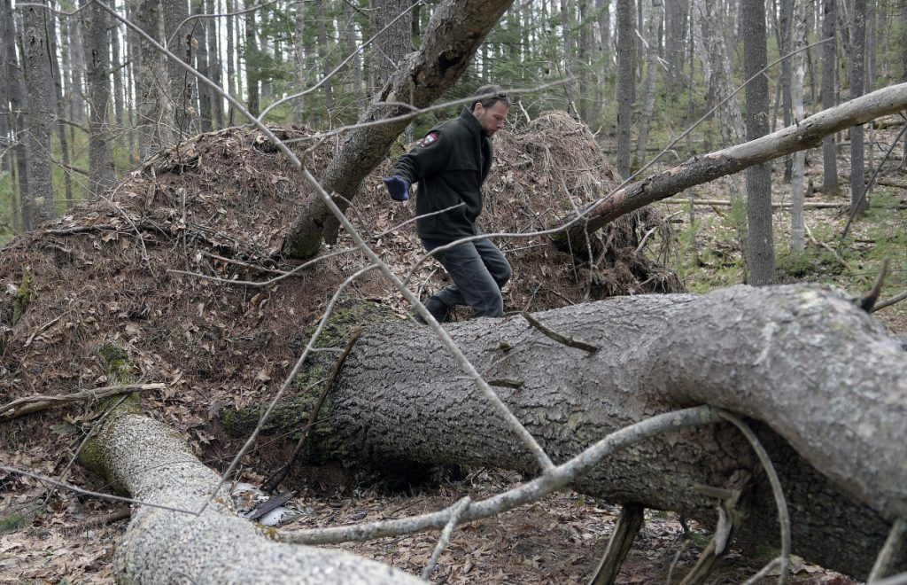 Department of Inland Fisheries & Wildlife biologist John Pratte crosses a blow-down Wednesday on Swan Island, in the Kennebec River near Richmond. Several acres of trees were knocked over on the island during a windstorm in 2017 that has compelled Inland Fisheries & Wildlife, the agency that oversees the wildlife refuge, to initiate a salvage operation to remove the downed trees. Pratte, a wildlife biologist, oversees the island.