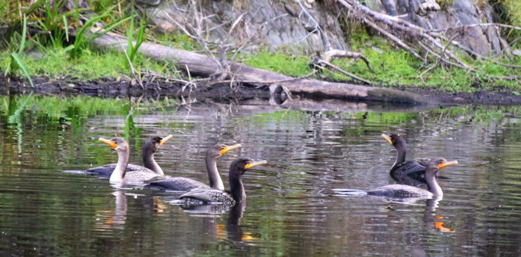 Double-crested cormorants cluster on a pond in Troy. Double-crested cormorants have been one of the species protected under the Migratory Bird Act since 1972. The Trump administration recently stopped interpreting the law as a protection against birds being killed by wind turbines and power lines.