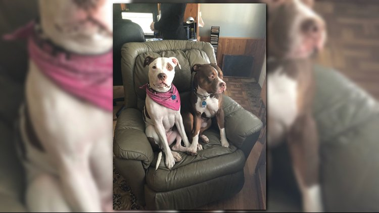 Buxton police are investigating after two pit bulls were shot and wounded at their owners' home.