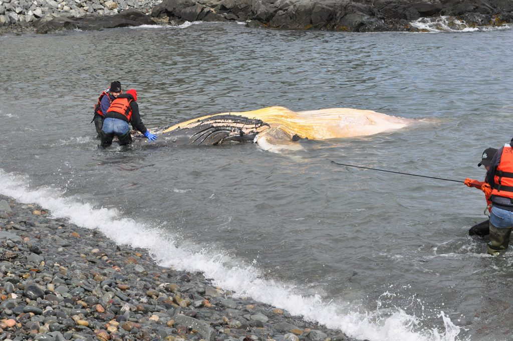 A dead female juvenile humpback whale was found floating off Lubec, and researchers are trying to find out more about what led to its death.