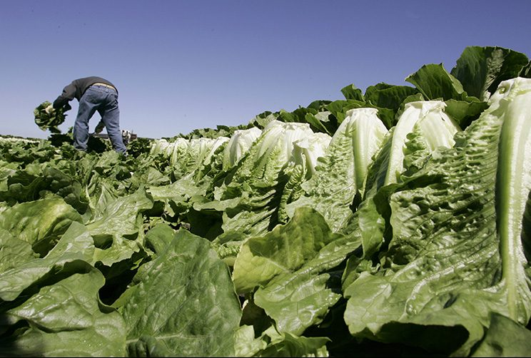 A worker harvests romaine lettuce in Salinas, Calif. in 2007.