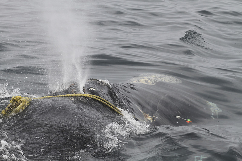 "In this April 12 photo taken by Lisa Sette on Stellwagen Bank off of Massachusetts, the right whale known as ""Kleenex"" is shown entangled in fishing gear."