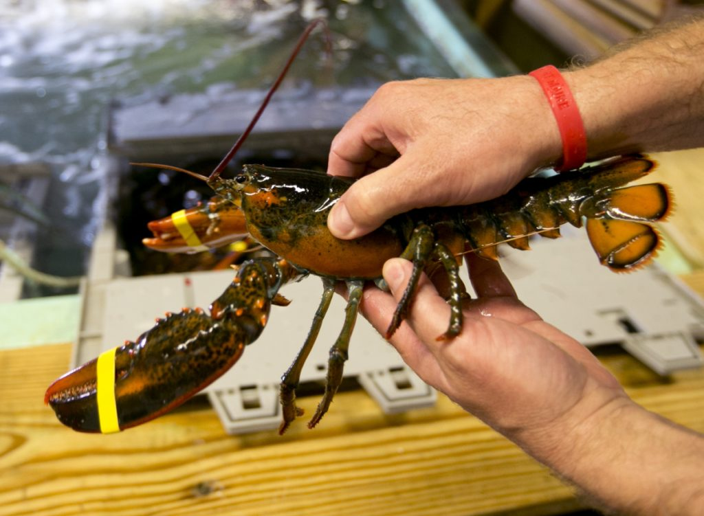 A lobster is pulled from crate in Kennebunkport.