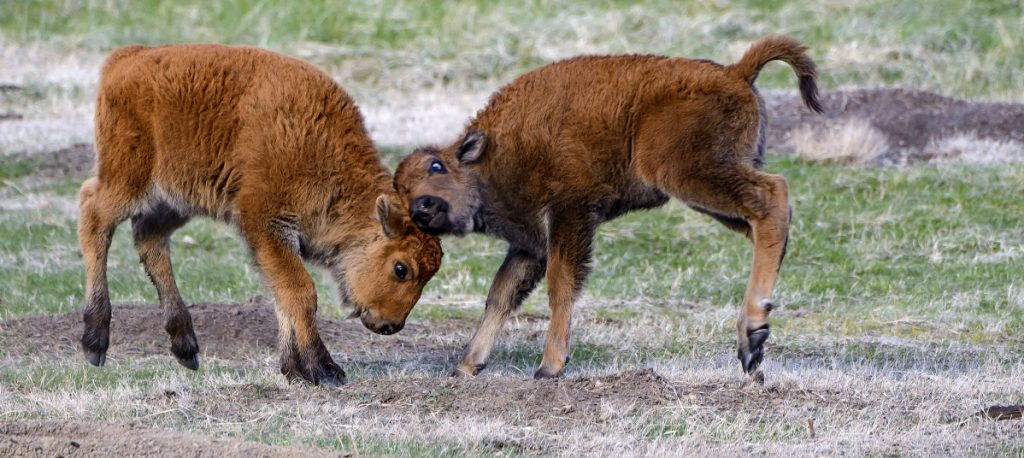 Young bison at Custer State Park in South Dakota. A species conservation program will relocate some herds.