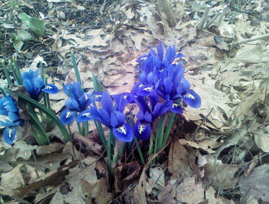 Crested iris, or Iris cristata, are North American natives.