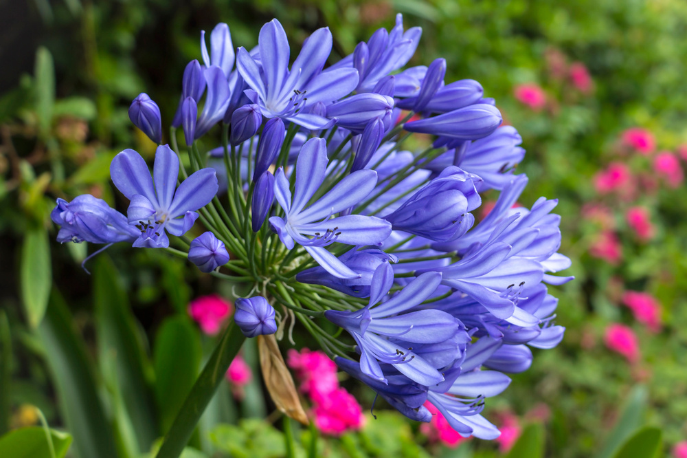 Agapanthus grows best in a mostly sunny site with rich soil that drains well.