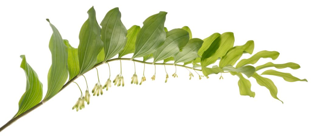 Solomon's seal is a striking plant, growing 4 feet tall, with small, pale flowers hanging down from an arching stem.