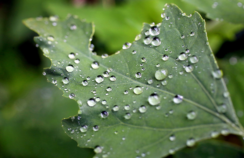Raindrops rest on a leaf after an afternoon shower in Portland.