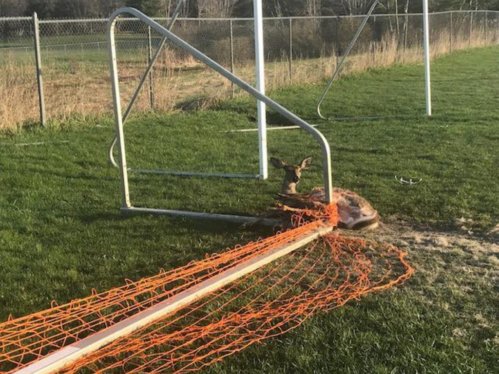 A deer was caught in a soccer goal net and freed by Augusta police Thursday morning.