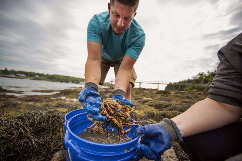 University of Maine graduate student Tyler Van Kirk collects green crabs in Tenants Harbor.