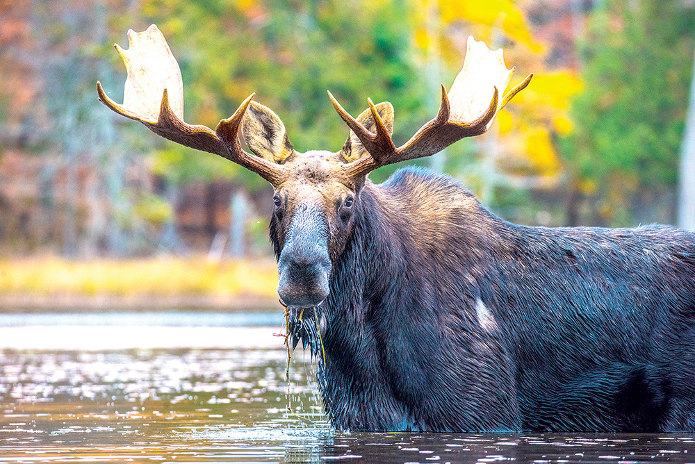 Main Street Skowhegan is hosting the Maine Inland Fisheries and Wildlife Moose Permit lottery on June 9. Contributed photo by Mike McVey