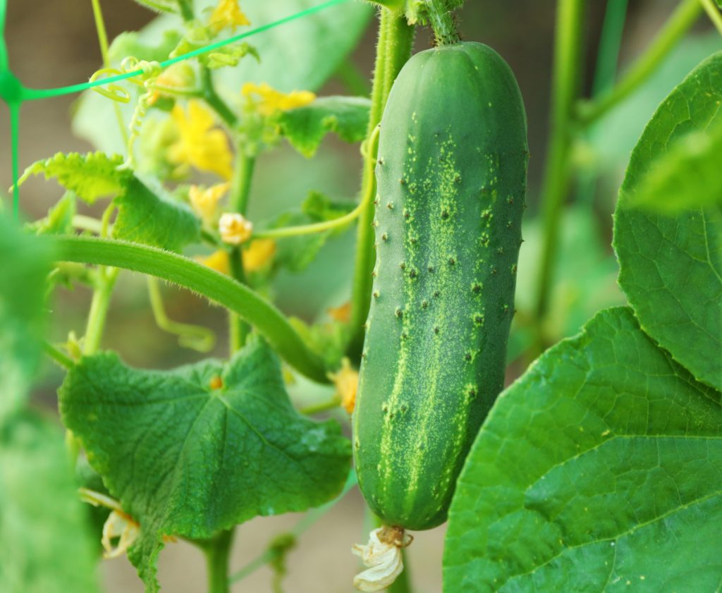 Cucumbers prefer fertile, slightly alkaline soil.