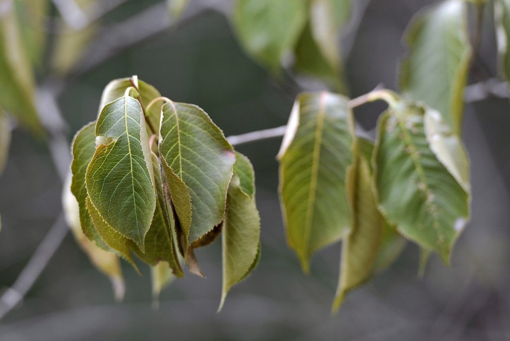 Dry leaves on a Nannyberry tree in Saco last August. Three years of dry conditions in May does not make this the new normal, climate scientist Sean Berkel says.