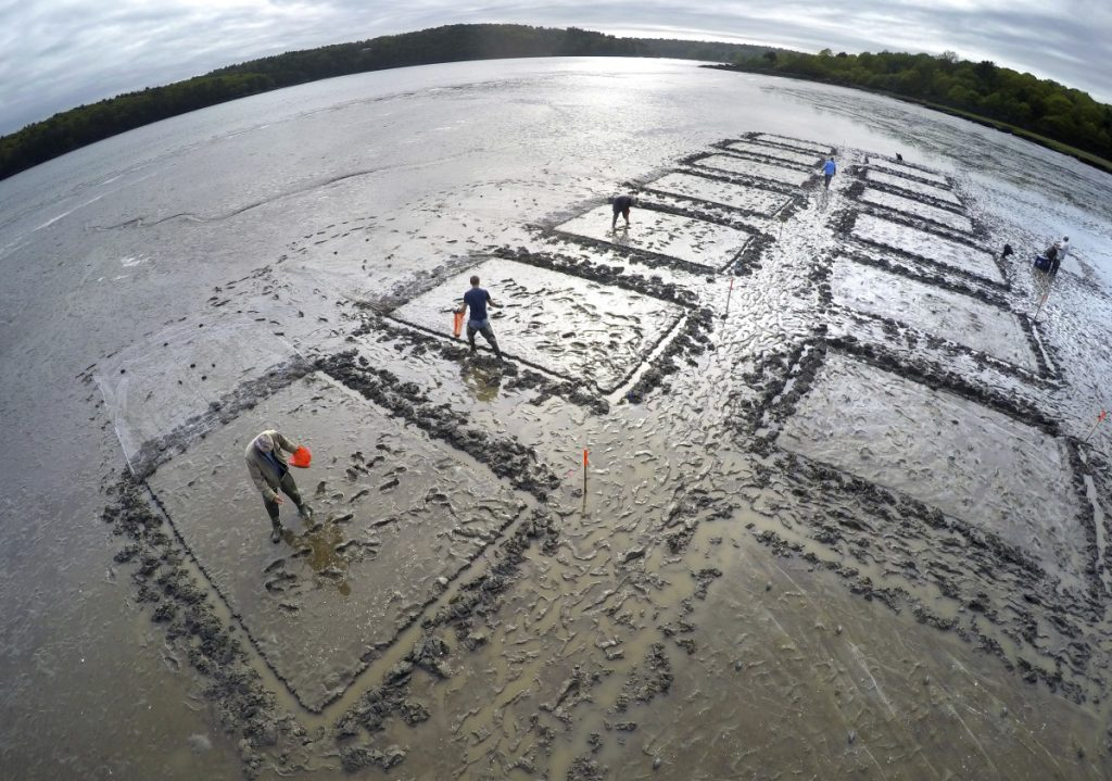 In this photo taken with a wide angle lens last week, a group of conservationists and clam diggers sprinkle baby clams onto plots on a mud flat on the Kennebec River in Arrowsic. Each plot will then be covered with a net to help keep away predators at the experimental clam farming project.