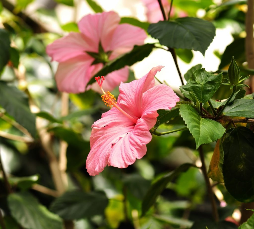 Tropical hibiscus. The tropical versions have large bright flowers; red and pink are most common, but also peach, orange and yellow.