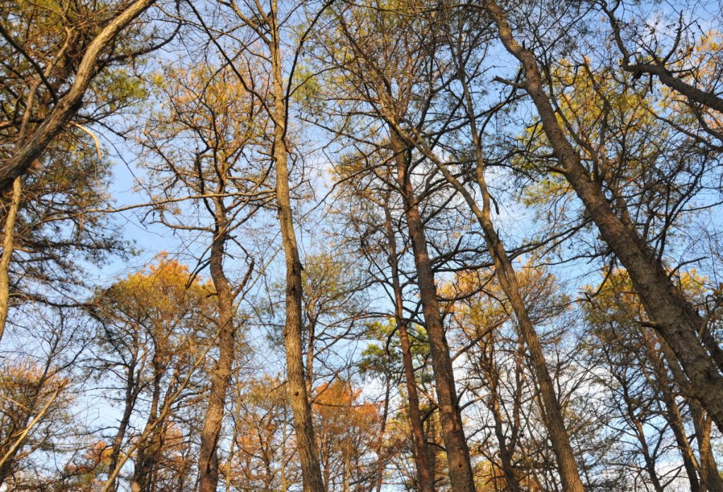 Pitch pines stand in varying stages of death in the New Jersey Pinelands after they were attacked by tens of thousands of southern pine beetles in fall 2010. The beetles have been steadily expanding their range as the climate warms.