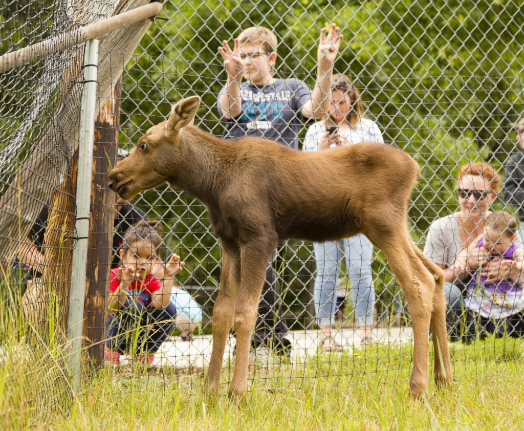 A 3-week-old female moose rescued in Wallagrass, Maine, has taken up residence at the Maine Wildlife Park in Gray, much to the amusement of the park's guests Sunday.