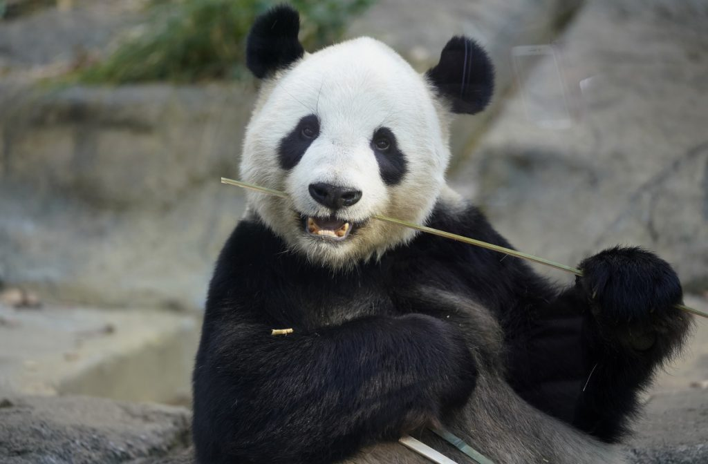 Male giant panda Ri Ri, father of baby panda Xiang Xiang, bites bamboo in a cage at Ueno Zoo in Tokyo in 2017.