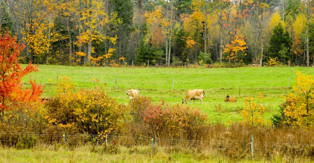 Dairy cows graze in a pasture on Oct. 24, 2017, at The Milkhouse Dairy Farm and Creamery in Monmouth. The town is considering a tax-break program for Monmouth farmers.