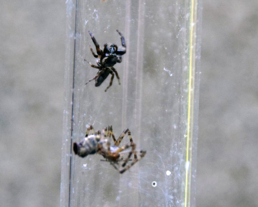 A jumping spider, top, pauses after battling a sheetweb weaver, below, in captivity.