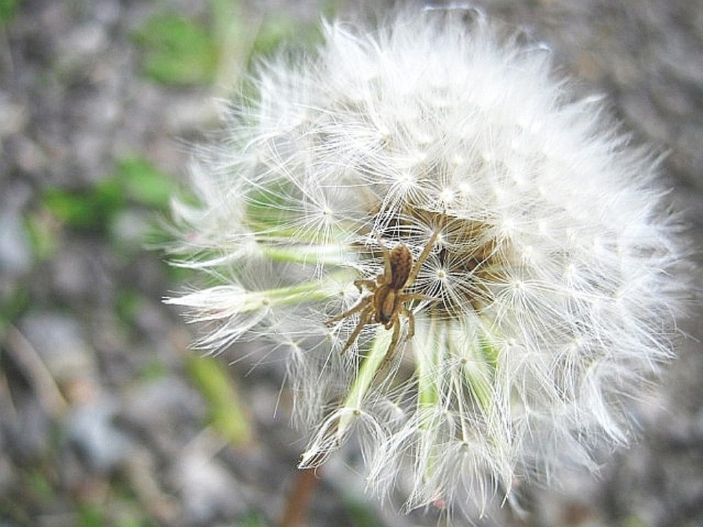 A dandelion gone to seed, with a young wolf spider. Everything in the yard knows what to do.