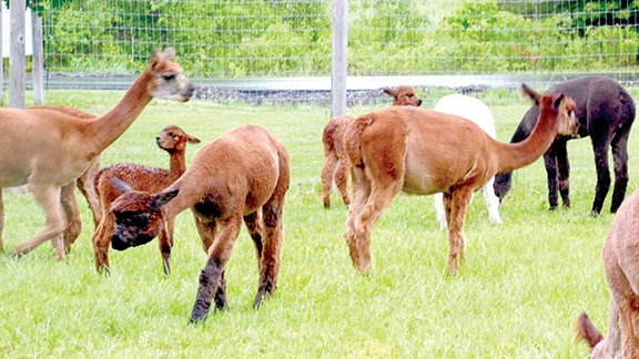 Alpacas in the yard at Northern Solstice Alpaca Farm on Crosby Brook Rd., Unity.  Susan Varney photos