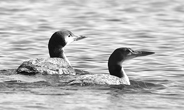 Two Common Loons, just released into Penobscot Bay after recovering from injuries, swim off together, out of sight, into the rest of their lives. Avian Haven photo by Terry Heitz