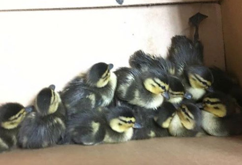 Ducklings rescued by the Portland police.