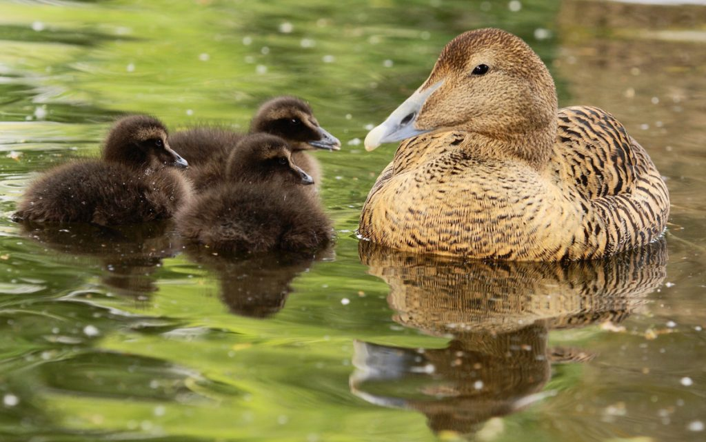 An eider duck and her chicks.