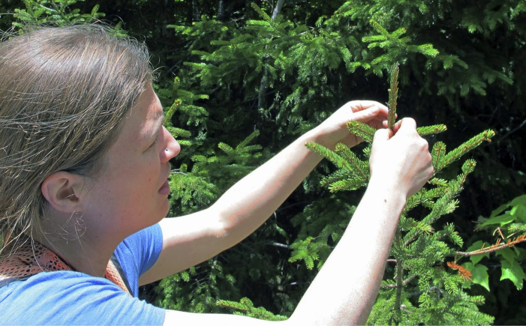 Alexandra Kosiba, staff scientist with the Forest Ecosystem Monitoring Cooperative at the University of Vermont, checks the growth of a red spruce tree on Mount Mansfield in Stowe, Vermont, in June.